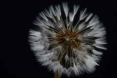 Rainy days. (padge83) Tags: nikon d5300 dandelions bokeh macro westyorkshire flower