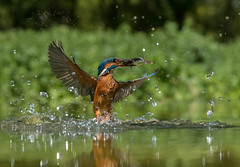 Kingfisher ( Alcedo atthis ) (Explored 13.05.2017) (Steven Whitehead) Tags: kingfisher diving orange water feeding feathers fishing nature wildlife canon canon1dxmk2 2017 blue bird birds wood woods suffolk flying wet