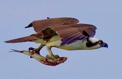 Standard Wildlife Photography Image (Feathered Trail Photos) Tags: osprey capemay theosprey misschrismarina nature bird newjersey mynj newjerseybirds fabuleuse