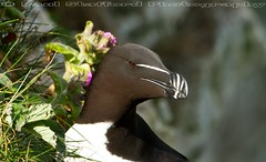Razorbill (STAFF.PAUL) Tags: razorbill sea seabird bempton yorkshire canon rspb canon7d canonl100400 outside nationalgeographicwildlife animalplanet thisphotorocks