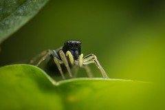 o00o (guillaume.randon) Tags: saltique araignée macro nikon d7200 sigma105mm kenko14