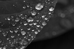 Droplets on a Curve (brucetopher) Tags: rain raindrop droplet drop drops water wet damp dew hosta curve curves curvy black white blackandwhite bw blackwhite monochrome contrast tone tones flora dark lush vegetation garden floral leaf leaves plant macro