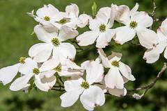 Dogwood flowers (mfeingol) Tags: washington arboretum washingtonparkarboretum azaleaway spring flower dogwood