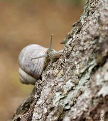 edible snail on a tree (Ute Scheele) Tags: makro macro nahaufnahme natur nature natural natura tree tamron baum brown schärfentiefe schnecke wald forest woods closeshot closeup canon canoneos80d eos80d eos outdoor insect ediblesnail snail baumrinde treebark plant plants planta snailshell animal weinbergschnecke rinde braun digital