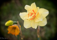 Old and Young (dngovoni) Tags: flower background burnside daffodils macro spring haymarket virginia unitedstates us