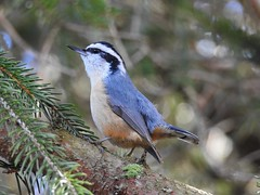 Red-breasted Nuthatch (Sitta canadensis) (Nature In a Snap) Tags: songbird yankyank redbreasted nuthatch sitta canadensis bird birding birdwatching birder nature wildlife barnegat 2017 nj new jersey cloverdale farm county park ocean