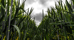 Weizenfeld (st.weber71) Tags: weizen niederrhein felder himmel outdoor natur landscape nrw pflanzen getreide germany landwirtschaft anbau