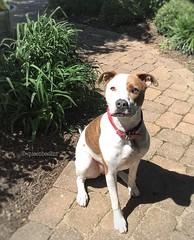 My big girl Zoe. (queenbee2zz) Tags: rescued pitbullmix zoe