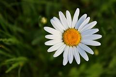 (d.cend) Tags: fleur nature extérieur macro marguerite