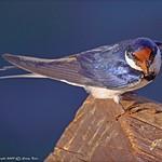 Passeriformes_Hirundinidae_Swallow_WhiteThroated_1