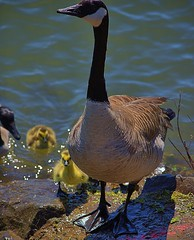 Mother Goose (swong95765) Tags: canadiangoose goose adult chicks babies young river water swim