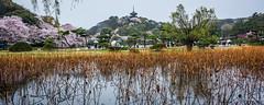 2017 - Yokohama - Sankeien Garden - Lotus Pond (Ted's photos - For Me & You) Tags: japan nikon nikond750 nikonfx tedmcgrath tedsphotos vignetting yokohama yokohamajapan 2017 cropped reflection waterreflection cherrytrees umbrellas blooms blossoms lotus lotuspond sankeien sankeiengarden pagoda sankeiengardenpagoda pagodaofoldtomyoji sankeienyokohama sankeiengardenyokohama sakura wideangle widescreen