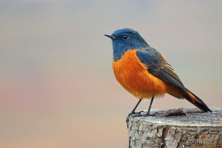 Well dressed - the blue fronted redstart