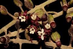 Polyscias elegans (andreas lambrianides) Tags: araliaceae nothopanaxelegans tieghemopanaxelegans gelibiaelegans silverbasswood blackpencilcedar blackpencil polysciaselegans cedar celerywood mowbulanwhitewood australianflora australiannativeplant australiannativetrees australianrainforests australianrainforestplant australianrainforesttrees arffs qrfp nswrfp cyrfp tropicalarf subtropicalarf dryarf littoralarf maroonarffs