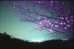 (✞bens▲n) Tags: pentax lx mamiya 50mm f2 film slide provia 100f at200 japan gunma akimabairin plumblossoms flowers night dark longexposure nightscape pink tree mountains