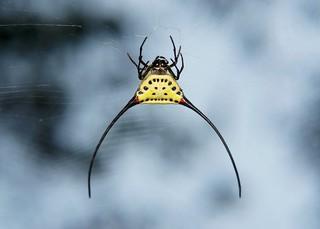 Long-horned Orb-weaver Spider (Macracantha arcuata, Araneidae)