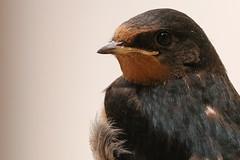 La rondinella (66Colpi) Tags: rondine uccello volare voloali primavera estate becco portrait ritratto animali