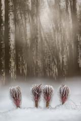 Gnomes (melnikovee) Tags: pulsatílla anemone flower snow multiexposure nature art wildlife winter plant flora