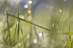 Bubble morning (lkiraly72) Tags: bubble morning bokeh abstract dof macro grass dew droplet spring