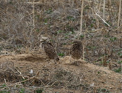 Burrowing Owls (fethers1) Tags: rmanwr rockymountainarsenalnwr rmanwrwildlife coloradowildlife birds owl burrowingowl