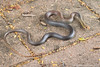 Lesser black whipsnake (Demansia vestigiata) (Stephen Zozaya) Tags: demansia demansiavestigiata elapidae pallarenda townsville