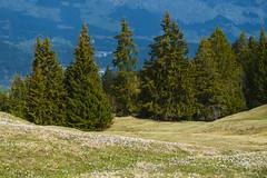 Krokusse (Crocus) (torremundo) Tags: krokus krokusse crokus frühling berge surselva frühlingsbote blumen bergblumen