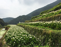 Calla lily (arum lily) flower fields (phuong.sg@gmail.com) Tags: beautiful beauty botanic botany colorful decoration flora forest formal garden greengrass greenery landscape landscaped landscaping lawn nature ornamental park parkland pathway pavement peaceful plant relax scenery scenic sidewalk sightseeing submersion summer taipei taiwan tranquil tree tropical vacation walk walkway way yangmingshan