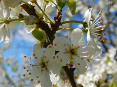 (Landanna) Tags: bloesem blomstring blossom white wit hvid bluesky blueheaven natur nature natuur
