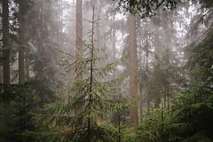 A foggy spring day (desomnis) Tags: fog mist misty foggy forest woods woodland nature landscape bokeh trees dof depthoffield böhmerwald bohemianforest naturephotography landscapephotography landschaft landscapes natur mühlviertel upperaustria oberösterreich austria österreich desomnis sigma35mm canon6d 6d