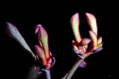 Kangaroo Paw (TonyinAus) Tags: macro australiannative canon australianplants