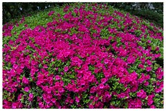"""""""Huge Round Colorful Bush..."""" (Alexxir) Tags: ditmas park spring 2017 cherry blossom sakura festival nyc matsuri brooklyn new york city flowers red yellow bloom blooming magnolia magnolias pink trees streets white bushes rose dandelions alleys perspectives birds victorian houses homes vintage flower vase vases cosy quiet peaceful serene relaxing dreamy desolate contrast garden vegetation colors colorful color explosion beautiful beauty incredible mesmerizing enveloping snow buds untouched nature mother pavement sidewalk doors entrance bedroom sleeping sleepy sunny bright heart"""