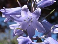 1037 Bluebell (Andy - Busyyyyyyyyy) Tags: bbb blue bluebell macro paleblue plant ppp