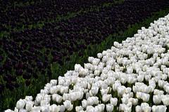 Tulips65