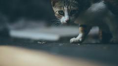 I see you|看到你了 (里卡豆) Tags: olympus epl8 cat 貓 喵星人 75mm f18