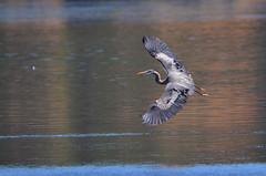 DSC_8300 Heron banking in flight (futzr.fotoz) Tags: great blue heron yaquina bay water flight fish newport oregon