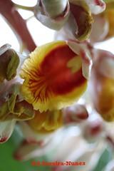 Shell Ginger, El Salvador (ssspnnn) Tags: jardineira colonia gengibreconcha azucena de porcelana pink porcelain lily snunes spnunes nunes spereiranunes salvador sheraton falsocardamomo alpinia zingiberaceae helicondia canoneos70d elsalvador