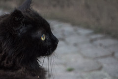Black cat (Marta Panzeri) Tags: meow animal kitten cat blackcat gatto gattonero wild blackness micio mycat