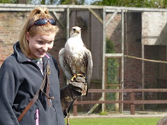 Saker Falcon (FloraandFauna_2) Tags: saker falcon thorp perrow beadale north yorkshire