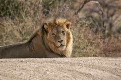 Looking at the camera (crafty1tutu (Ann)) Tags: travel holiday 2016 southafrica kgalagaditransfrontierpark africa african animal lion blackmanedlion male carnivore canon5dmkiii ef100400mmf4556lisiiusm crafty1tutu anncameron coth specanimal naturescarousel naturethroughthelens coth5