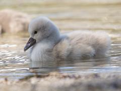 P5060157 (turbok) Tags: almsee bergsee höckerschwan landschaft schwäne tiere vögel wasser wildtiere c kurt krimberger