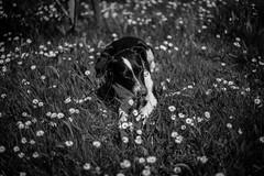Dog's summer joy (mripp) Tags: art kunst outside nature animal animals dog flowers lumen black white mono moncchrom leica m10 sum micron 50mm vintage retro old school