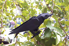 Raven (orig4mi.) Tags: raven origami paper folding