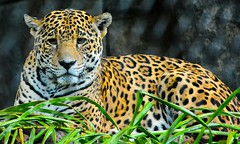 Mr. Brightside  Please give my Facebook page a like. 👍 JET7BLACK and follow @jet7black Thank you very much. (Jet7Black) Tags: wildanimals wildanimal leopard leopards cat cats animal animals wild wildlife nature naturelover bigcats flickr flicker instagram vine twitter yahoo facebook snapchat tumblr africa safari zoo jet7black jet7blackwildlife texas visittexas texaslife texastodo texasparkswildlife texasmonthly texaswildlife southtexas florida floridawildlife floridakeys floridalifestyle southflorida visitflorida floridalife red orange yellow green white black blue gold teal