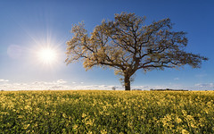 Spring (Stefan Sellmer) Tags: schleswigholstein blue balticcoast landscape tree sunbeams blossom sunburst germany bluesky outdoor springrape kiel flowers raps strande deutschland de