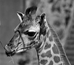 Rothschild's Giraffe Calf - Sunshine and Shadows (Gilli8888) Tags: zoo chesterzoo chester animals wildlife mammal giraffe rothschildsgiraffe calf younggiraffe blackandwhite sunshine shadow nikon coolpix p900