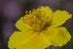 Une petite fleur sauvage (Doriane Boilly Photographie Nature) Tags: sauvage printemps champs prairie nature faune flore couleur jaune