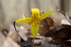Yellow Michigan Wildflower: Trout Lily (marylea) Tags: troutlily yellow wildflower michigan apr22 hudsonmillsmetropark hudsonmills erythroniumamericium americium erythronium 2017