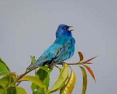 Celebrating Spring (tresed47) Tags: 2017 201705may 20170510bombayhookbirds birds bombayhook bunting canon7d content delaware folder indiigobunting peterscamera petersphotos places takenby us