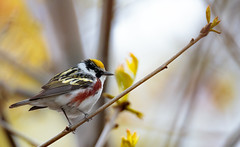 Beautiful Chestnut (rmikulec) Tags: warbler chestnut sided songbird migration spring colonel sam smith park hike wild wildlife animal