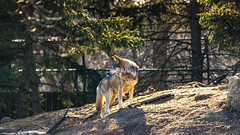 Mexican Grey Wolf (spierson82) Tags: canislupusbailey brookfield mexicangreywolf brookfieldzoo canislupus czs chicagozoologicalsociety regensteinwolfwoods greatbearwilderness illinois zoo graywolf wolf mexicanwolf animal unitedstates us explore